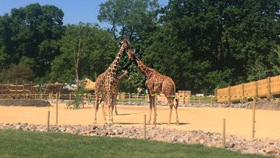 Three giraffes arrive at Wild Place